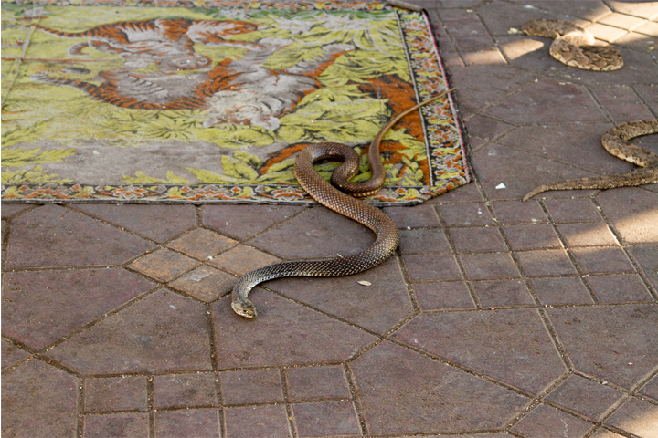 Snakes in Jemaa el-Fnaa, Marrakech.